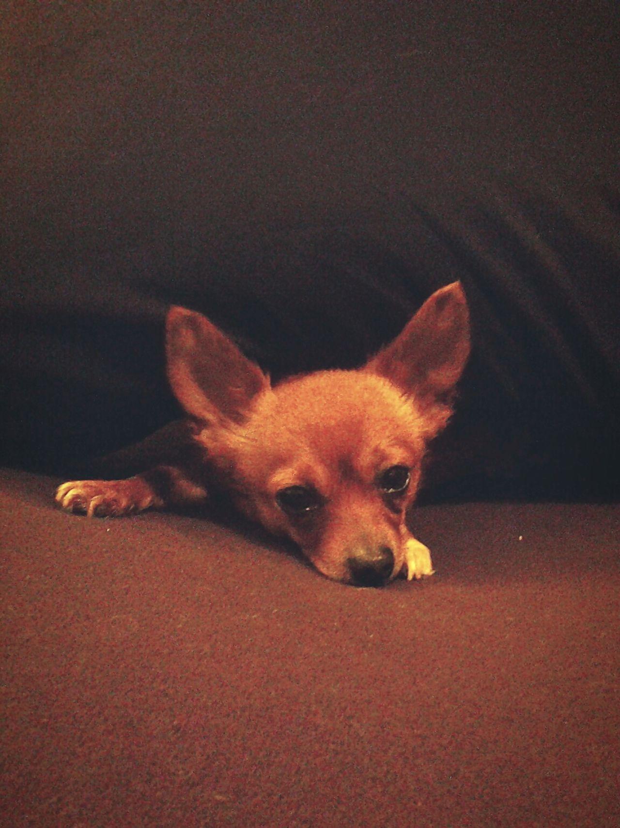Dog Pomeranian Chihuahua Roseville, CA