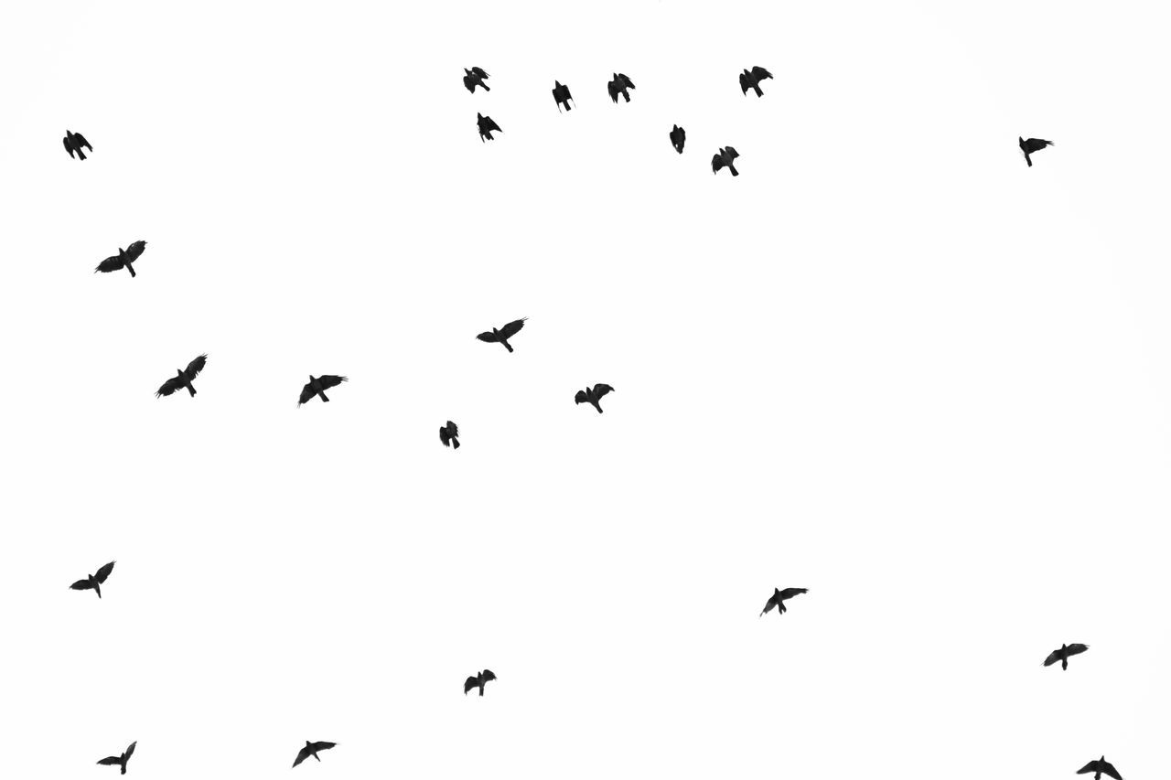 Birds Animal Themes Animal Wildlife Animals In The Wild Beauty In Nature Bird Black And White Day Flock Of Birds Flying Large Group Of Animals Low Angle View Mid-air Migrating Minimal Nature No People Outdoors Sky Spread Wings Togetherness