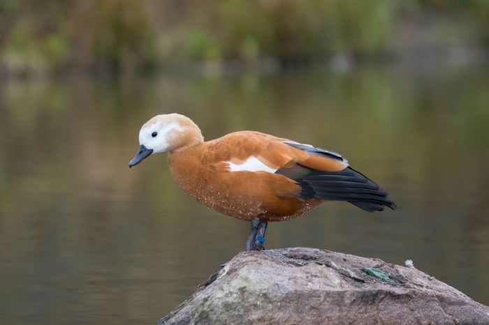 EyeEm Birds Birdwatching Sonya77ii Ruddy Shelduck Duck Sony A77ii Sigma