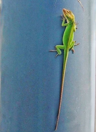 Lizard climbing a pole Lizard Lizard Watching Lizard Close Up Lizard Nature Green Lizard Lizard Photography Lizard Cuteness Lizards No People Nature Animals In The Wild Colors Dramatic