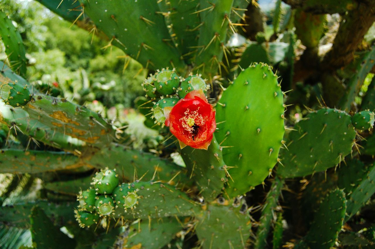 red, green color, growth, leaf, nature, beauty in nature, close-up, day, plant, outdoors, no people, freshness, fruit, prickly pear cactus