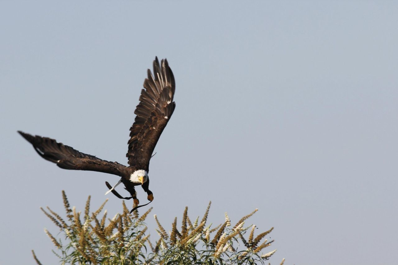 Beautiful stock photos of hunting,  Animal Themes,  Animal Wildlife,  Animals In The Wild,  Bald Eagle