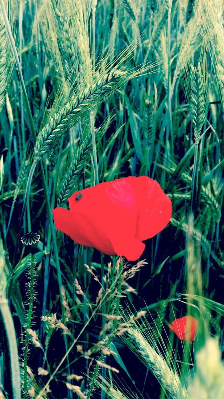growth, red, nature, plant, beauty in nature, field, fragility, flower, petal, no people, freshness, grass, blooming, day, outdoors, close-up, poppy, flower head, fly agaric mushroom