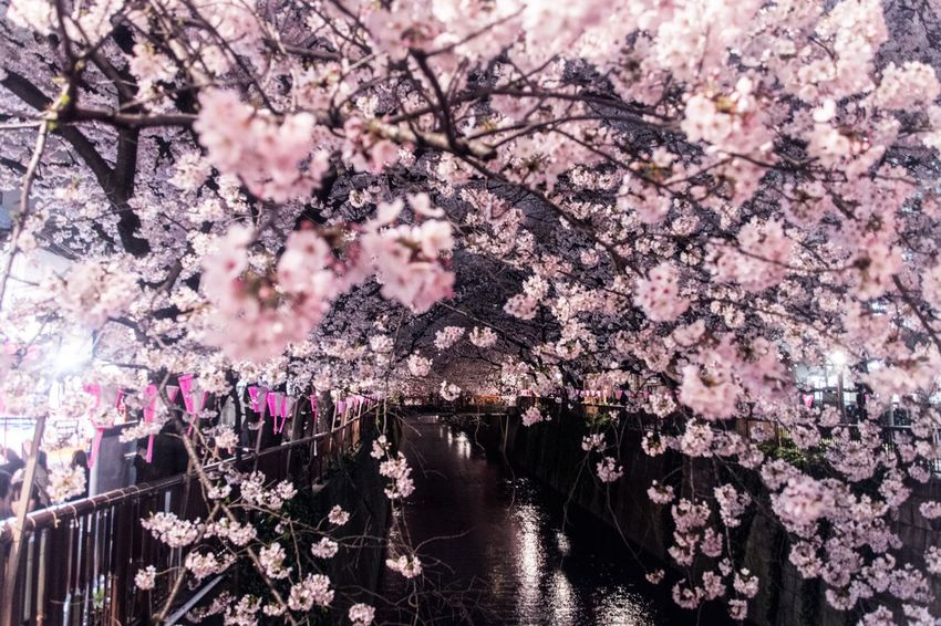 Urban Spring Fever Sakura Night Drastic Edit Night Lights Flowers Light And Shadow Shaping The Future. Together. Cherry Blossoms Fine Art Urban Exploration Original Experiences Street Photography Japan Getting Inspired Showcase April Shiny Our Best Pics Pink Beautiful Nature Cityscapes Yeah Springtime! River Romantic Dreaming