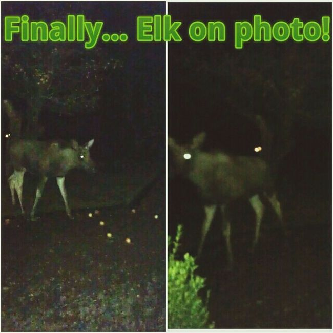 "At last! I don't now how long I've tried to catch one of these Elks on photo! They only come at night, to eat apples in the garden. But its impossible to catch them in the dark! So I made a ""trap"" with big juicy apples closely to the light! They are very careful! But this 1 year old was alone and desperate. He was pretty close. Specially on the right pic... just when he spotted me and ran! :) Pretty cool feeling to be so close to this magnificent animal. This one was not that big. I've seen a mother with calf every night, but they are too careful to come to the light! Maybe I get to photo them to. Just need more time! :) Nature_collection Elk Night Pic  Yes!"