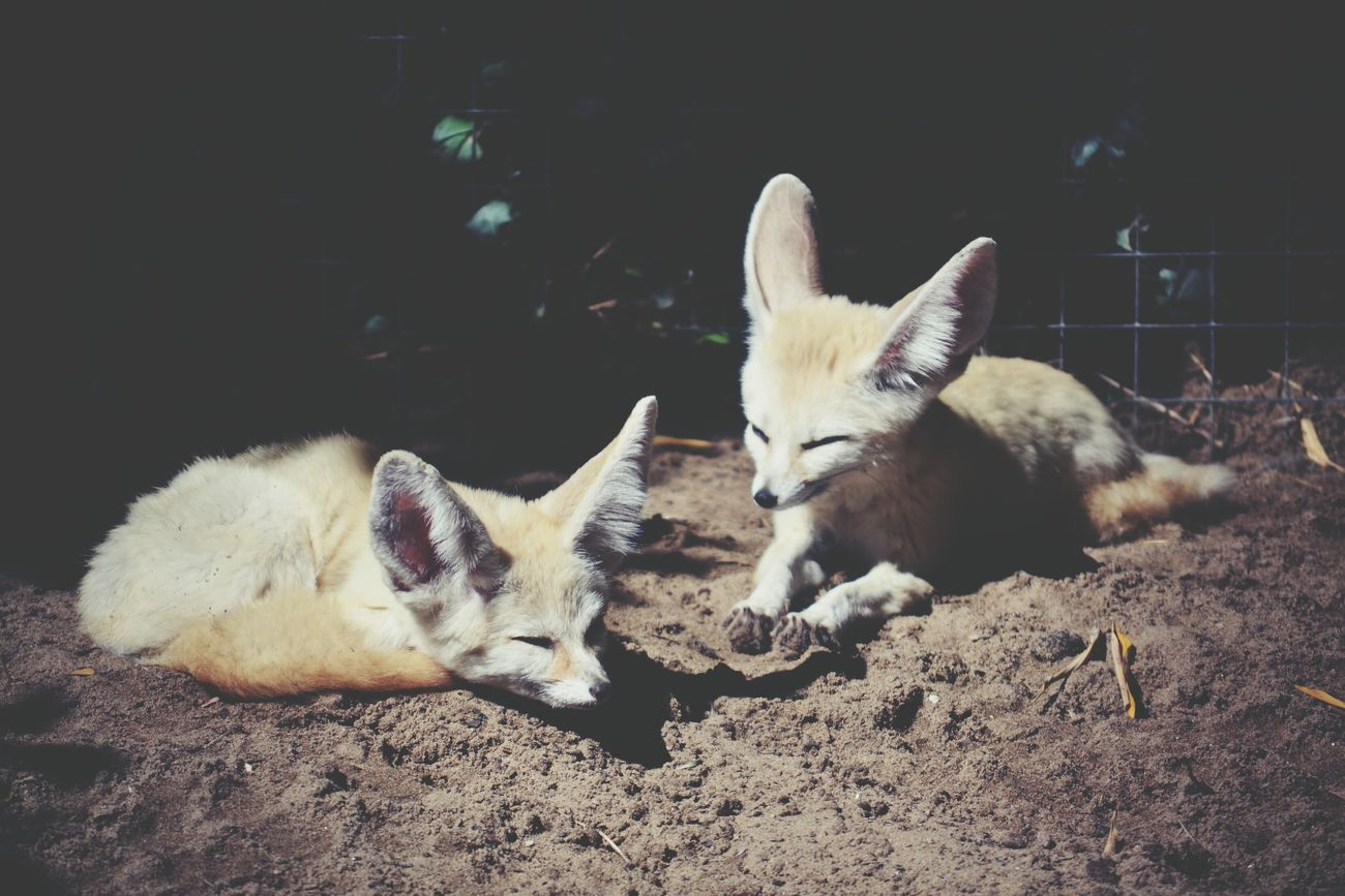Fennecs Zoo Lapalmyre Animal Photography