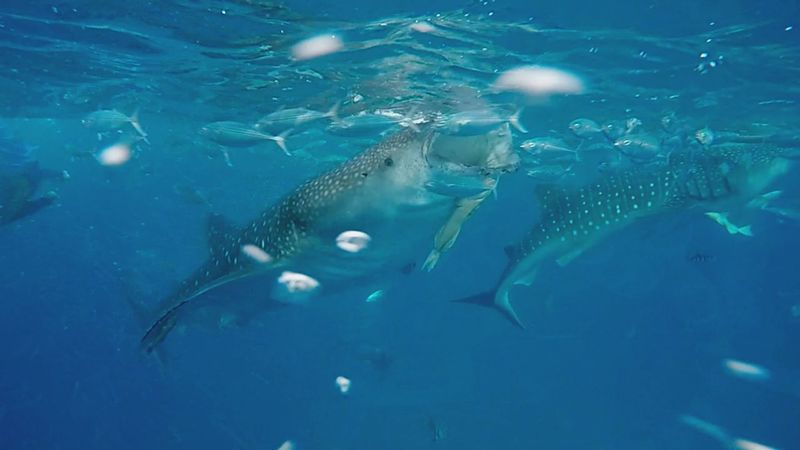 Whale Shark Whale Watching Snorkling With Whale Shark Butanding