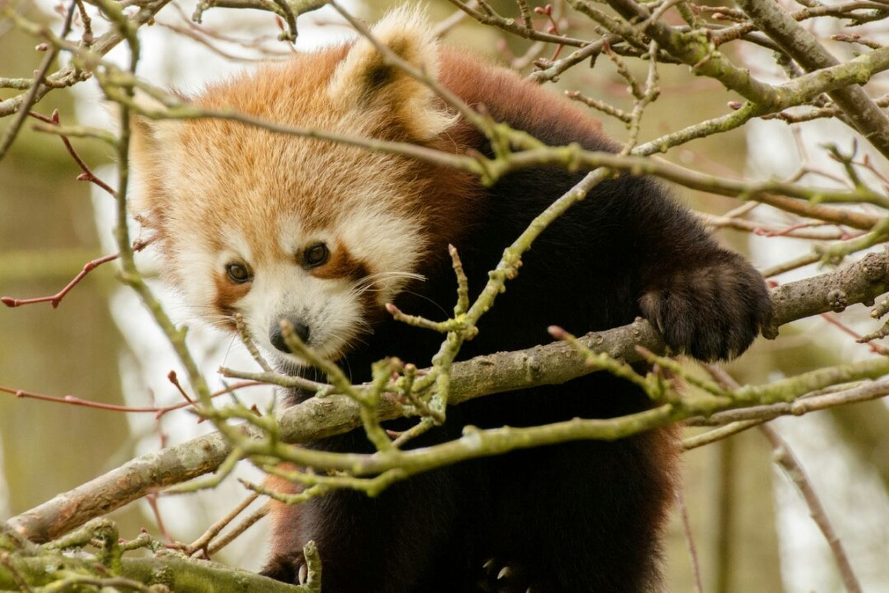 Mammal Animal Wildlife Animals In The Wild Animal Themes No People One Animal Outdoors Nature Red Panda