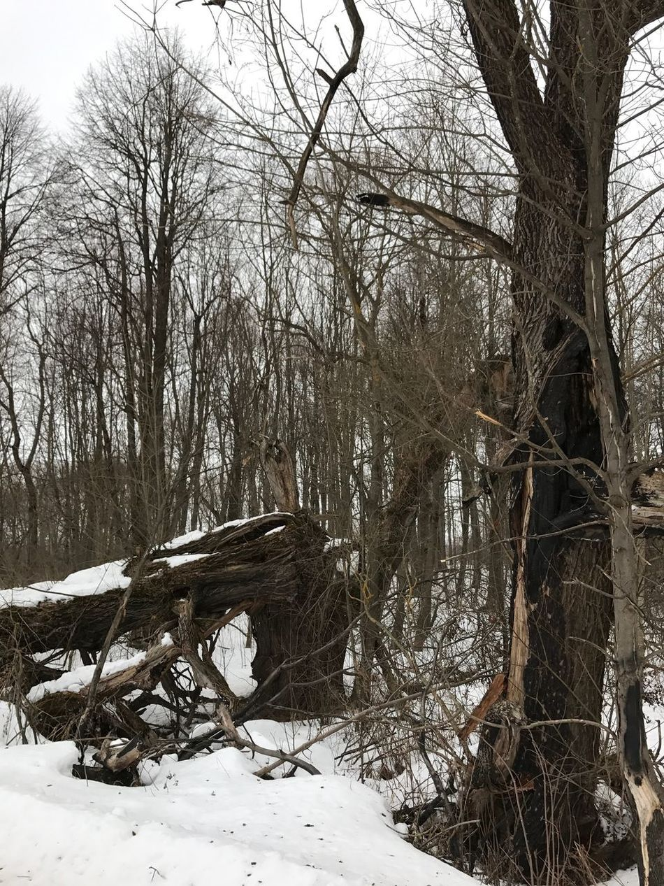 The result of the storm... Tree Bare Tree Nature Winter Snow Cold Temperature Day Outdoors No People Beauty In Nature Tranquility Tree Trunk Branch Tranquil Scene Scenics Forest Sky Landscape