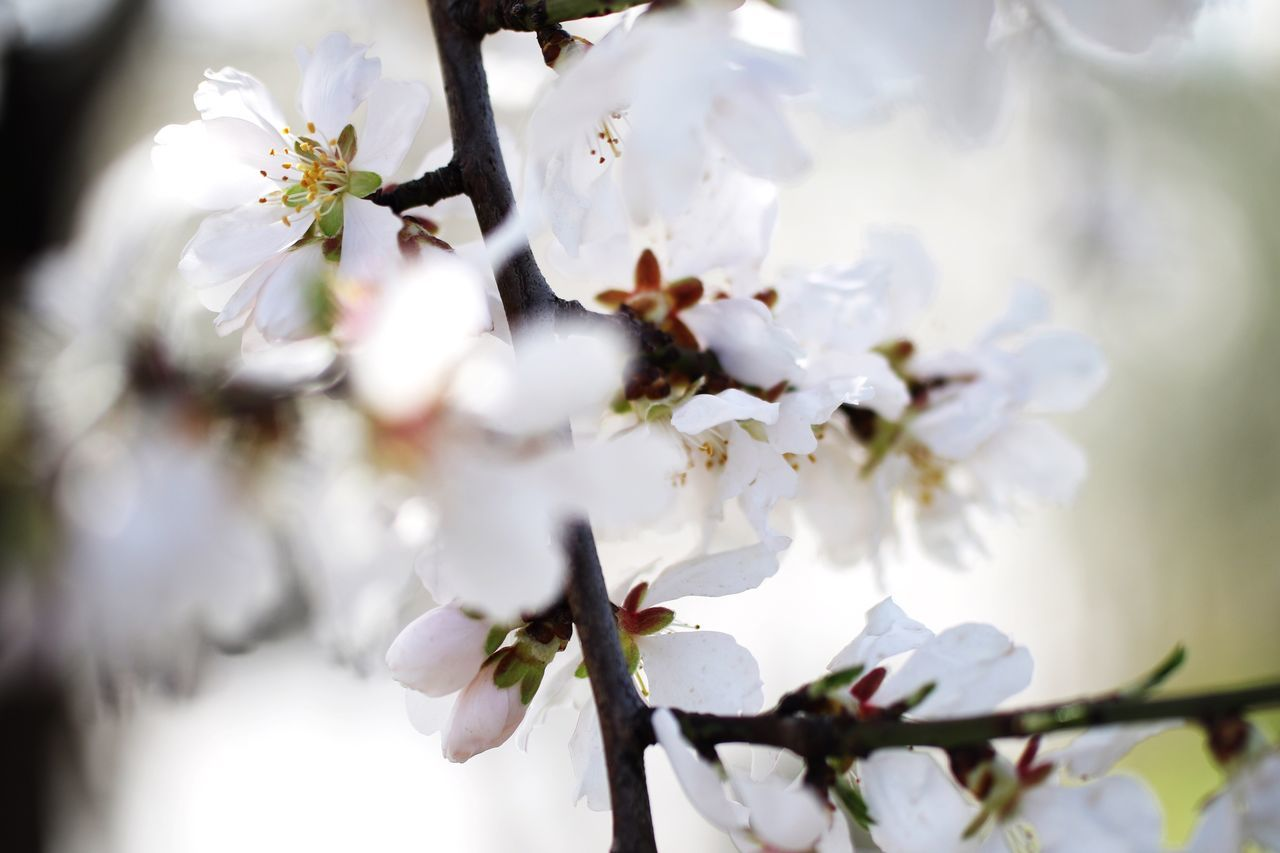 Nature White Color Growth Tree Twig Blossom Beauty In Nature Springtime Close-up Apple Blossom Apple Tree Flower Branch Almond Tree Orchard No People Plum Blossom Fruit Tree Stamen
