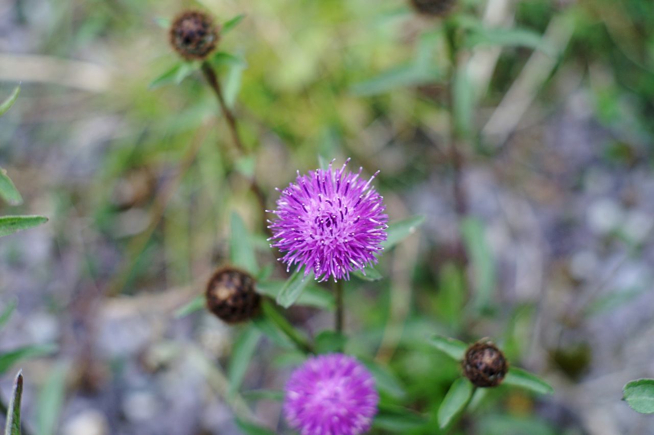 Flower Spiky Purple Freshness Growth Flower Head Focus On Foreground Beauty In Nature Close-up Nature Stem Selective Focus Plant Thistle In Bloom Common Springtime Wildflower Botany Extreme Close-up Macro Macro_collection