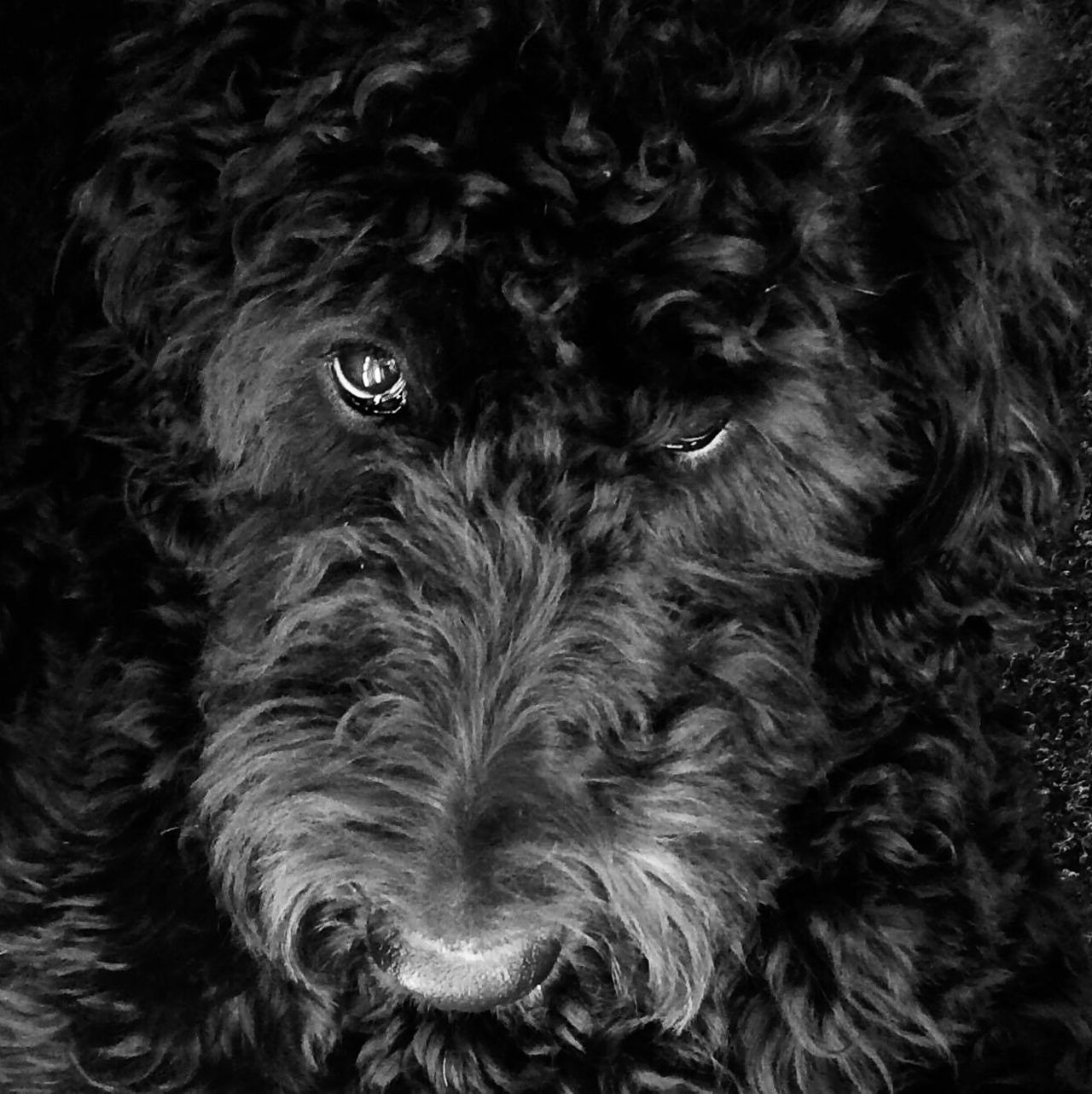 Maddy the Labradoodle Labradoodle Dogs Animals Pets Blackandwhite Smartphonephotography Squarecrop Snapseed