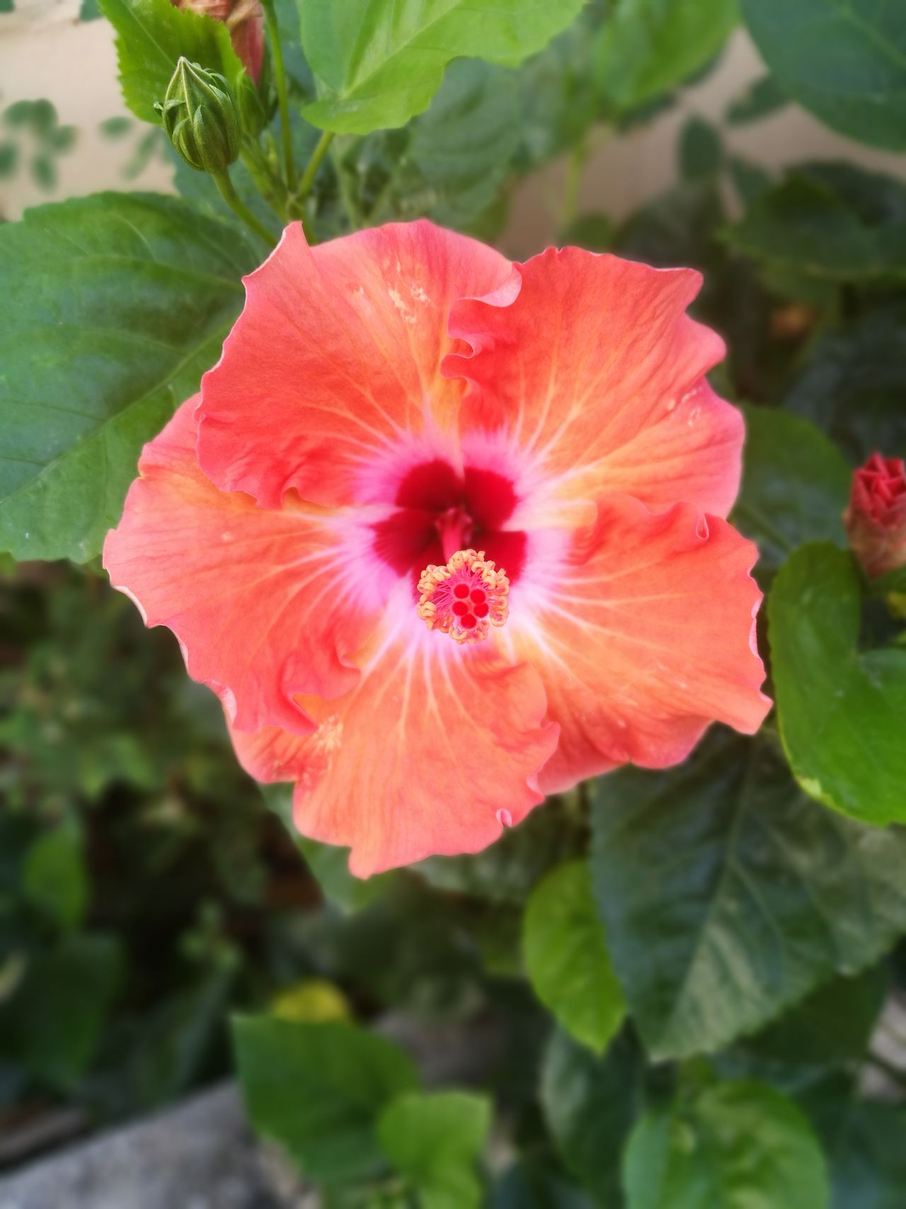 Thursday Flower Petal Fragility Nature Flower Head Beauty In Nature Pink Color Red Growth Plant Close-up Freshness Outdoors No People Pollen Day Growth Flowers, Nature And Beauty Flowers_collection Flowers,Plants & Garden Orange Flower Poppy Flowers