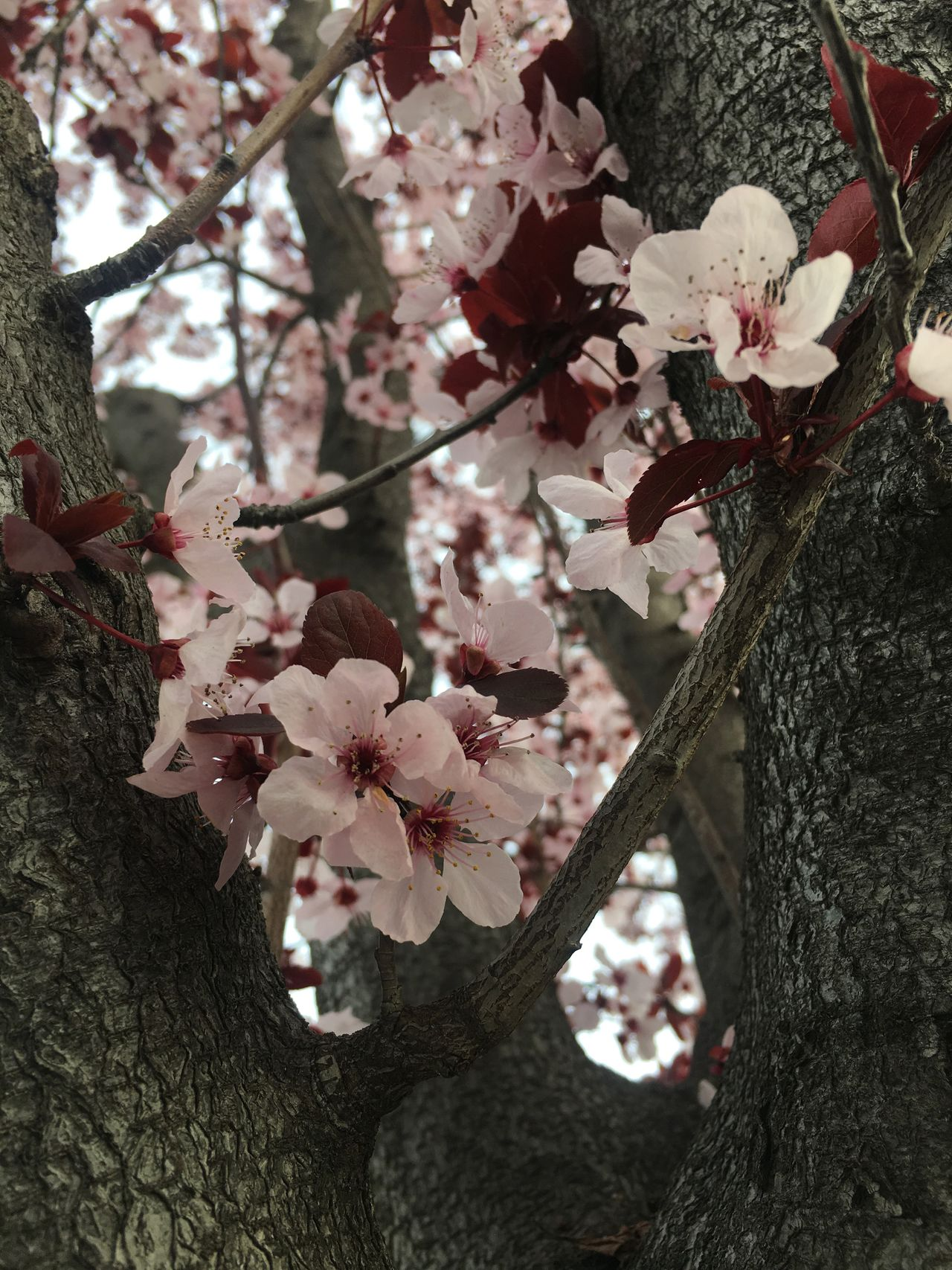Cherry Flowers Cherry Blossoms Flower Branch Nature Beauty In Nature Pink Flower Cherry Blossom Viewing Nature Photography Pink Color No People Cherry Flower Pink Flower 🌸 Pink Tree Light Pink Outdoors Cherry Blossom Cherry Tree Cherry Blossom Tree Springtime Low Angle View Nature Cherry Blossom Millennial Pink The Great Outdoors - 2017 EyeEm Awards