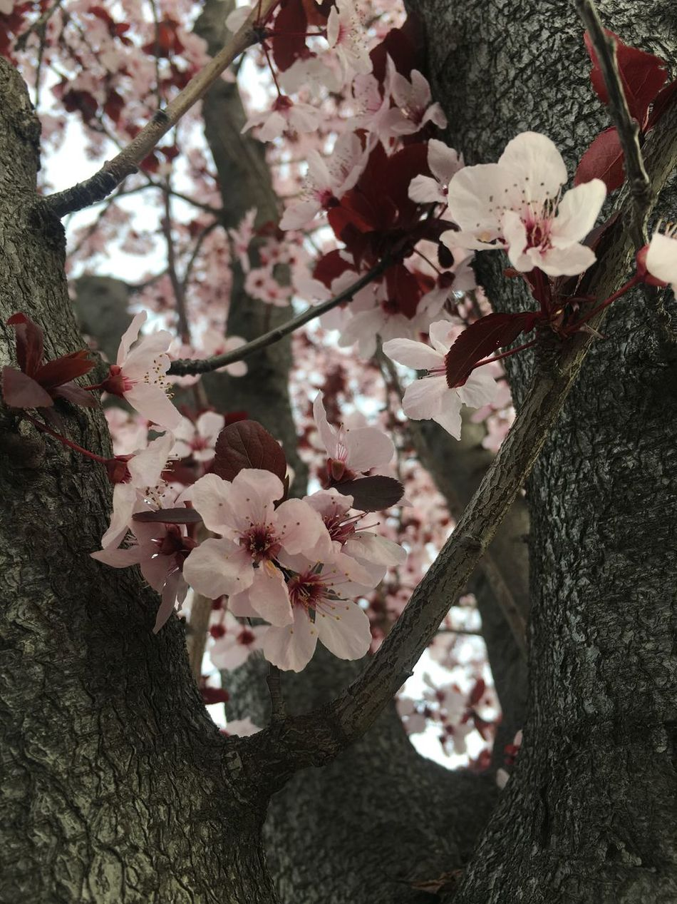 Cherry Flowers Cherry Blossoms Flower Branch Nature Beauty In Nature Pink Flower Cherry Blossom Viewing Nature Photography Pink Color No People Cherry Flower Pink Flower 🌸 Pink Tree Light Pink Outdoors Cherry Blossom Cherry Tree Cherry Blossom Tree Springtime Low Angle View Nature Cherry Blossom Millennial Pink