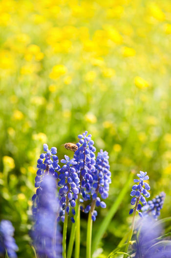 Bee worker flying above blue Muscari Mill flower, bluebell blooming in garden in Poland. Bee Bloom Blooming Blossom Blossoming  Blue Bluebell Bluebells Close-up Flower Flowerets Flowering Flowers Grape Hyacinth Grape Hyacinths Insect Muscari Muscari Mill Nature No People Plant Plants Pollinate Pollination Spring