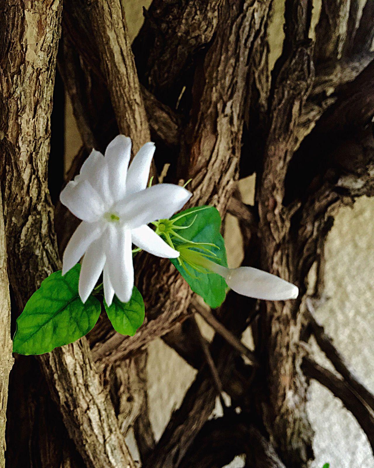 Jasmim Flower Lovely Nature Fragility White Color Close-up Beauty In Nature Petal Favorite Flower