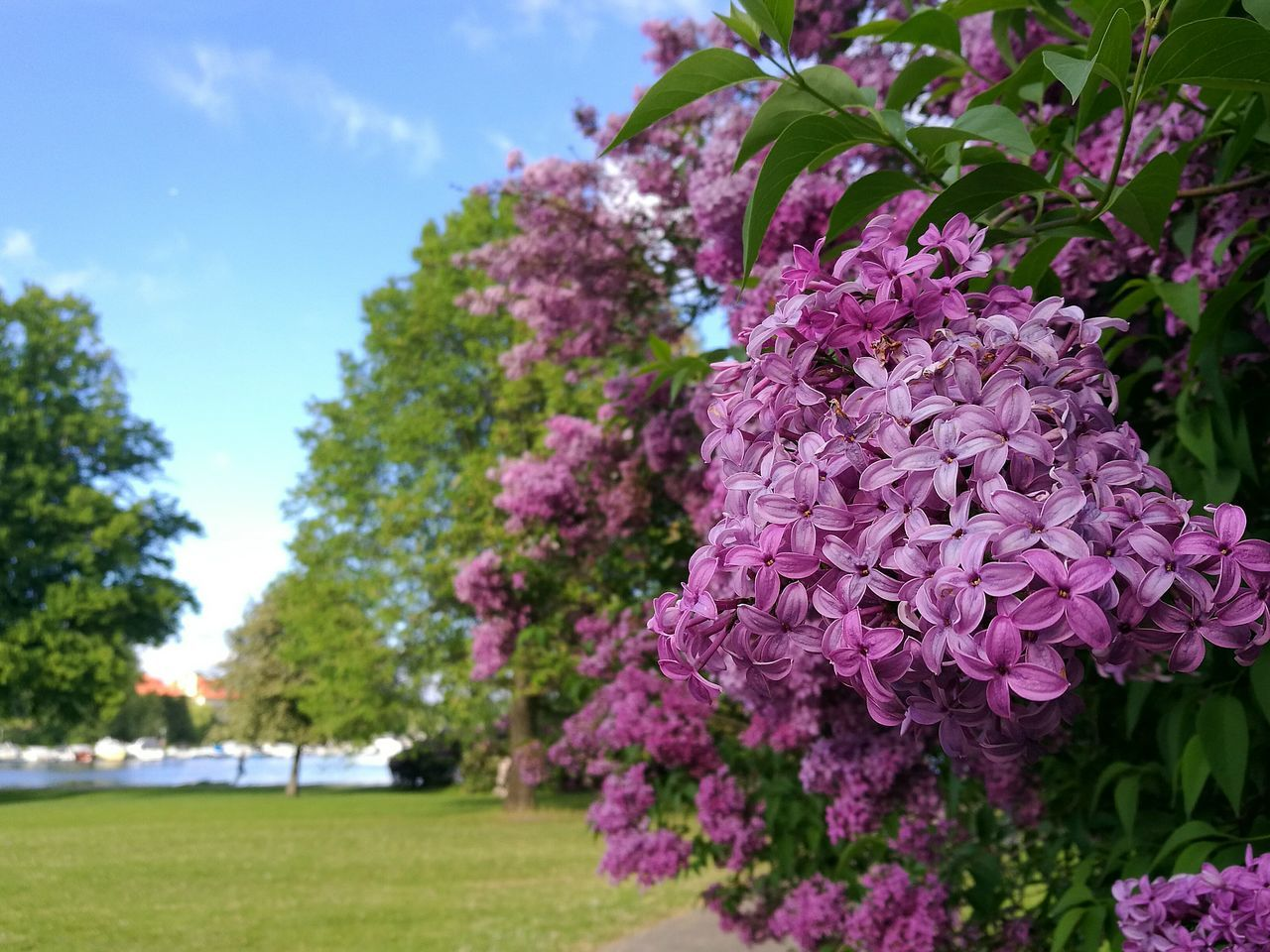 Djurgården Sweden Park Park - Man Made Space Lilacs Blossoms  Blossoming  Flower Flowers Flowers,Plants & Garden Blossom Nature Beauty In Nature Outdoors Freshness Scenics Landscape Sky Cloud - Sky Lilac Blossoms Park Path Blossom And Blue Sky HuaweiP9 Park Flowers Sunny Afternoon