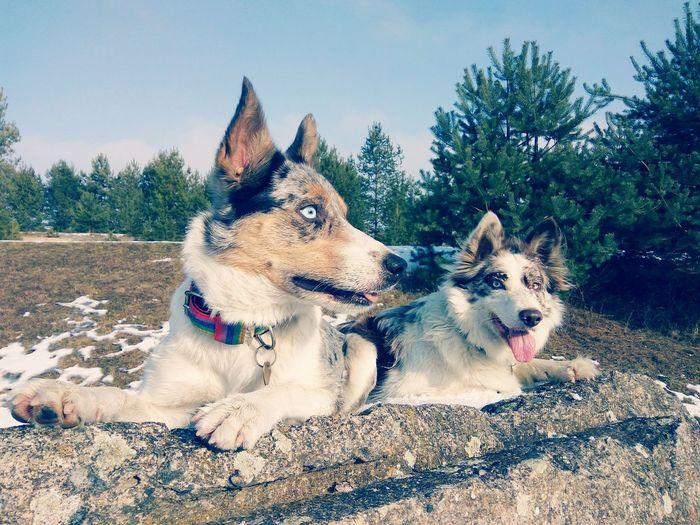 Pets Animal Themes Dog Domestic Animals Outdoors DayMammal No People Border Collie Blue Merle Dogs Blue Eye Red Merle Dogwalk Today Dogs Dogs Of EyeEm Dogs Life Dog Life Dog Portrait Looking At Camera Portrait Sky