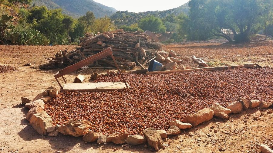 This is how Argan almond get dried in morocco, the only land where argan tree grow Argan Morocco Agadir Travel Photography Oasis Trip Destinatination Beautifull Travel Destinations Enjoying Life Travel Hanging Out Food Cosmetic Autumnbeauty Fall Almond Argan Oil