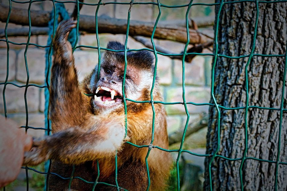 28 days later 😨😲😵😒😬😈 Animals In Captivity Cage Zoo One Animal Animal Themes Mammal Monkey Close-up Nature Outdoors Day Angry Rageface Rage Dangerous