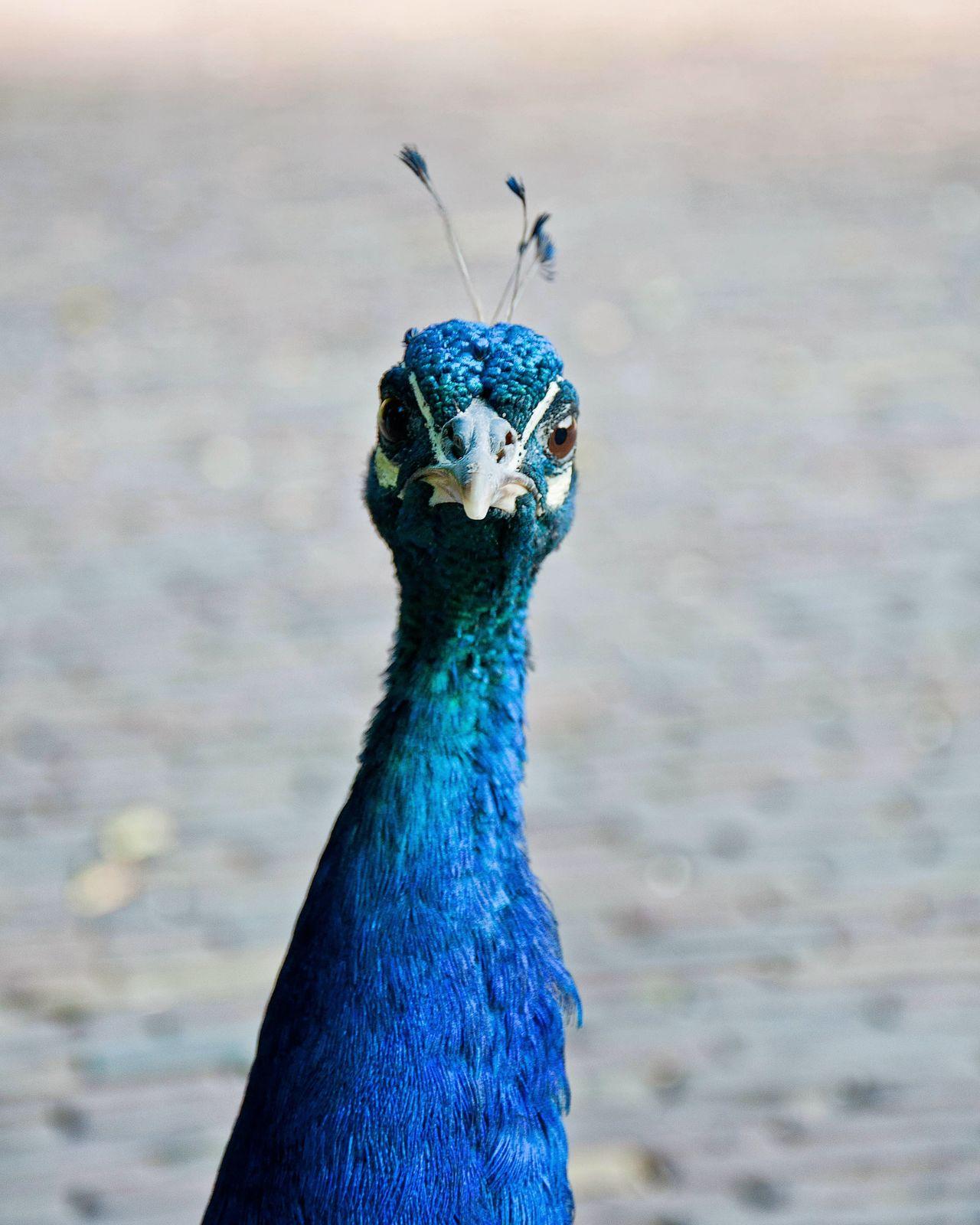 Beautiful stock photos of peacock,  Animal Wildlife,  Animals In The Wild,  Beauty In Nature,  Bird
