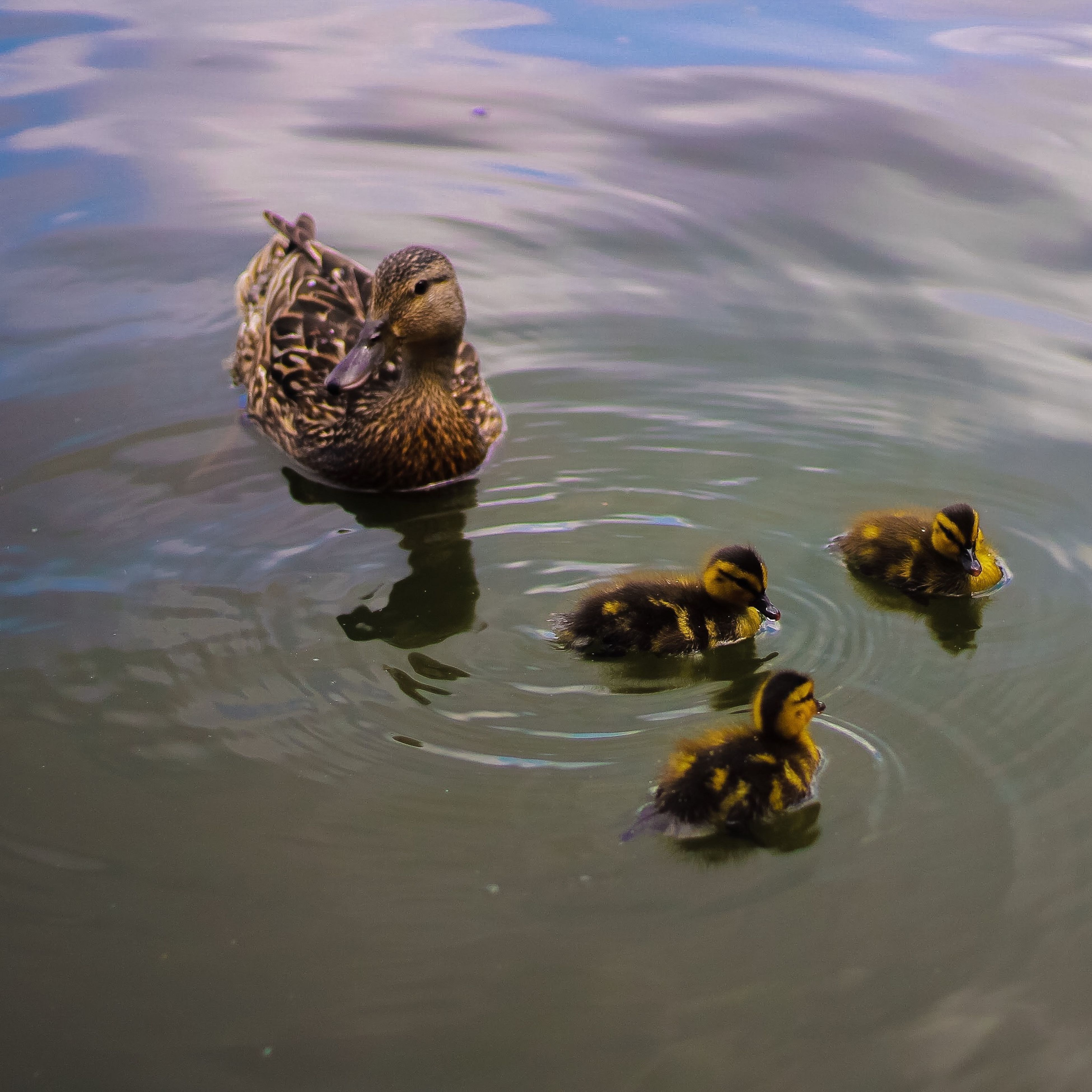 animal themes, animals in the wild, wildlife, water, one animal, duck, high angle view, swimming, reflection, waterfront, lake, nature, bird, pond, rippled, zoology, day, outdoors, young animal, no people
