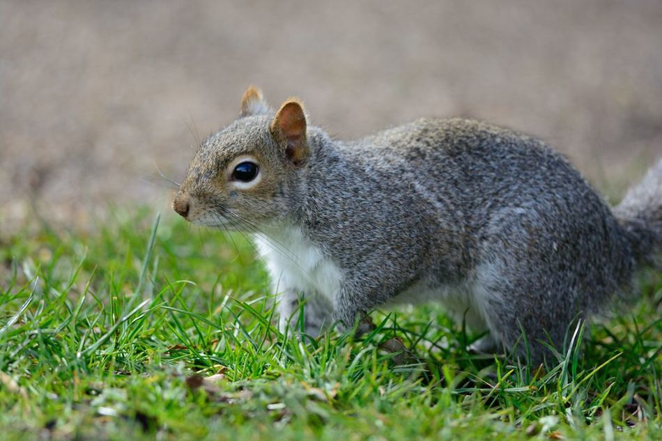 Beautiful stock photos of eichhörnchen, Animal Themes, Close-Up, Day, Grass