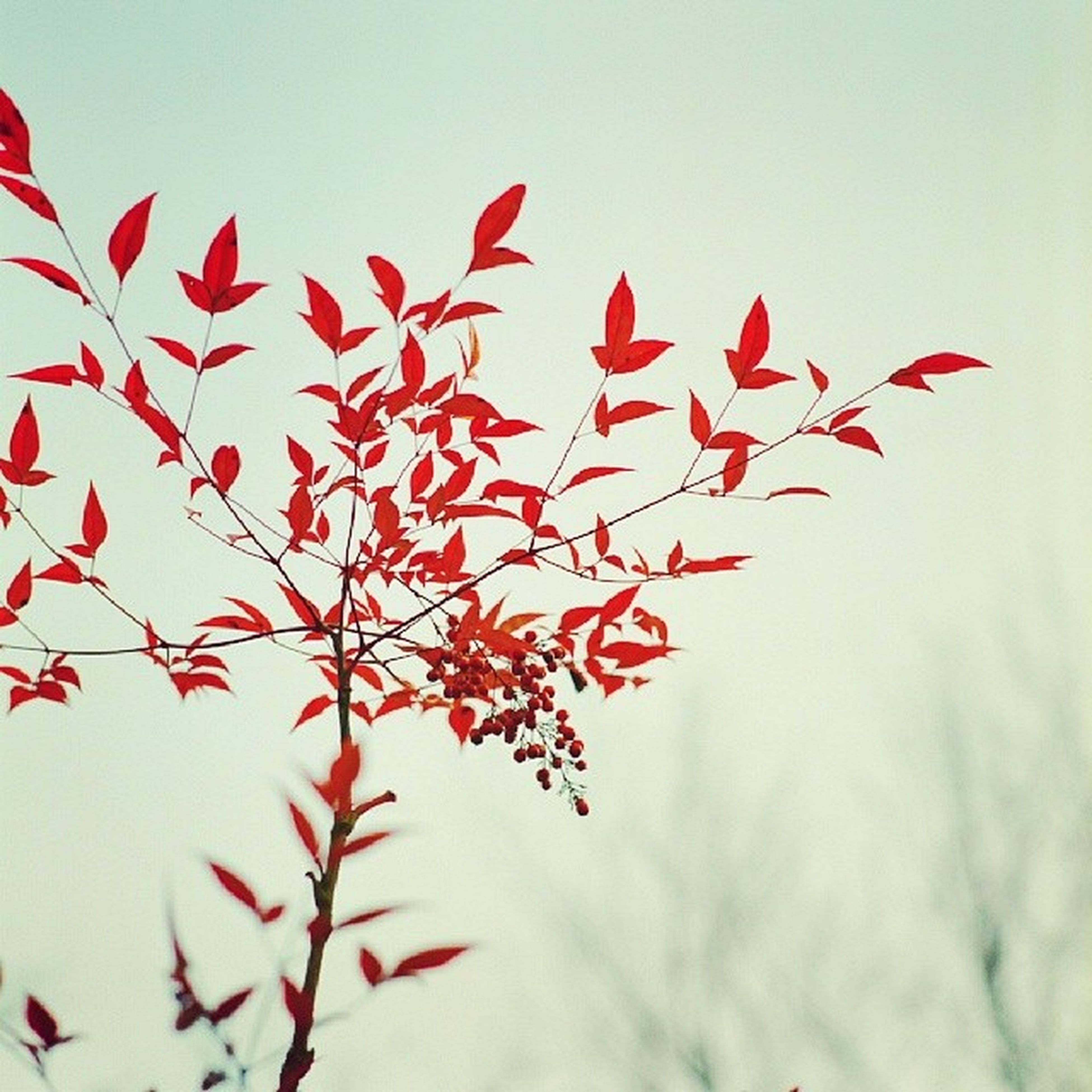 red, clear sky, low angle view, nature, sky, growth, beauty in nature, copy space, flying, close-up, leaf, flower, fragility, day, no people, freshness, outdoors, stem, bird, white background