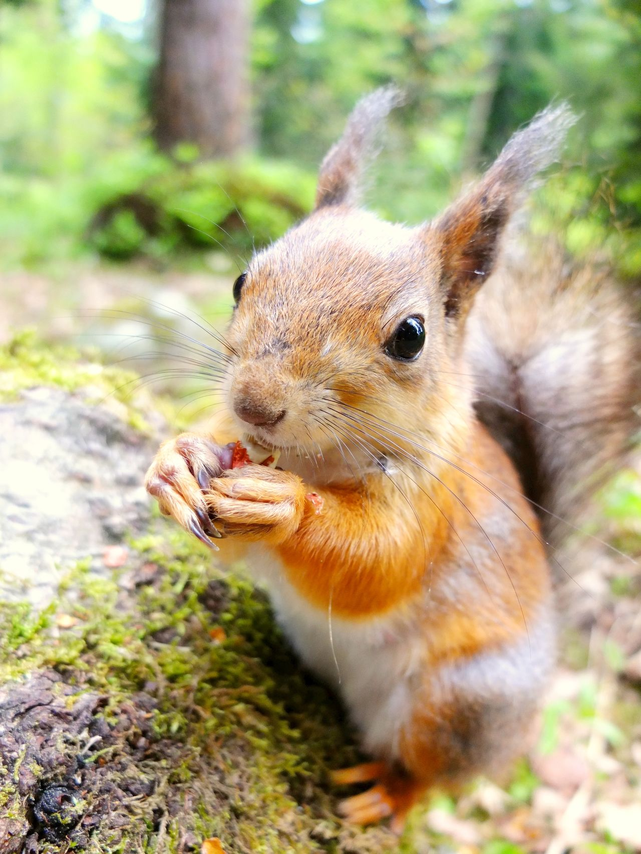 Closeup of squirrel eating a nut Adorable Animal Themes Animal Wildlife Animals In The Wild Cute Day Eating Finland Furry Helsinki Lovely Lovelynatureshots Mammal Nature No People Nut One Animal Outdoors Rodent Seurasaari Small Squirrel Squirrel Squirrel Closeup Squirrel Photo