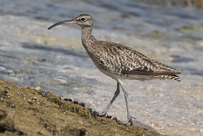Whimbrel Bird Animals In The Wild One Animal Animal Wildlife No People Water Nature Beauty In Nature Birds🐦⛅ Close-up Bird Photos Waterfowl Beach Outdoors Feather  Animals In The Wild Sea Life
