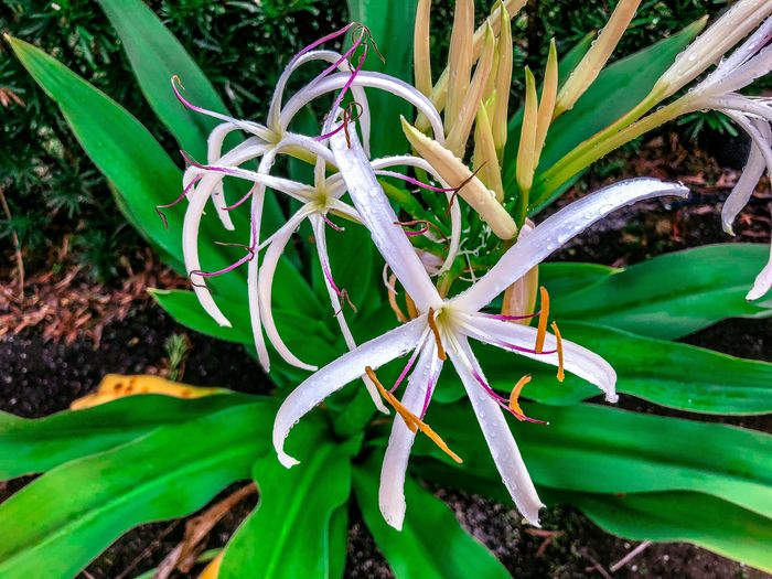 white spider lily flower Freshness Green Color Lily Marsh Pink Plant Rain Raindrops Spider Lilies Swamp Blooming Flower Flower Head Flowers Leaf Spider Lily Springtime Tropical Climate White White Flower Yellow