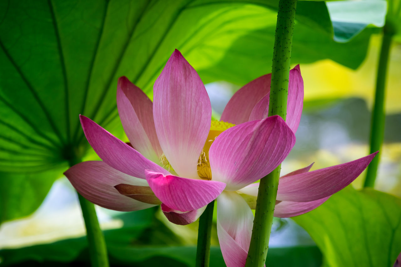 flower, beauty in nature, nature, growth, petal, fragility, leaf, pink color, freshness, no people, plant, green color, lotus water lily, close-up, outdoors, day, flower head, blooming