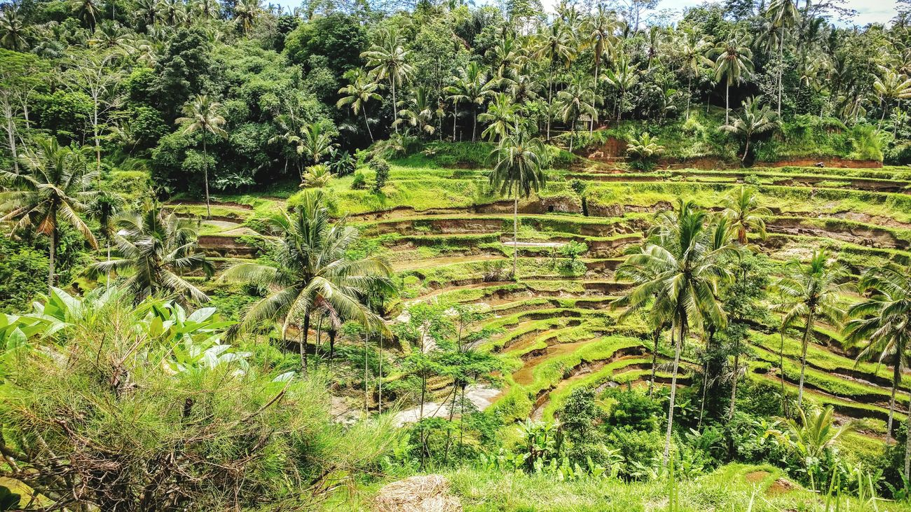 Bali Rice Field Rice Terraces Colors Holidays In Bali INDONESIA Troplical Vacation Time Loveit