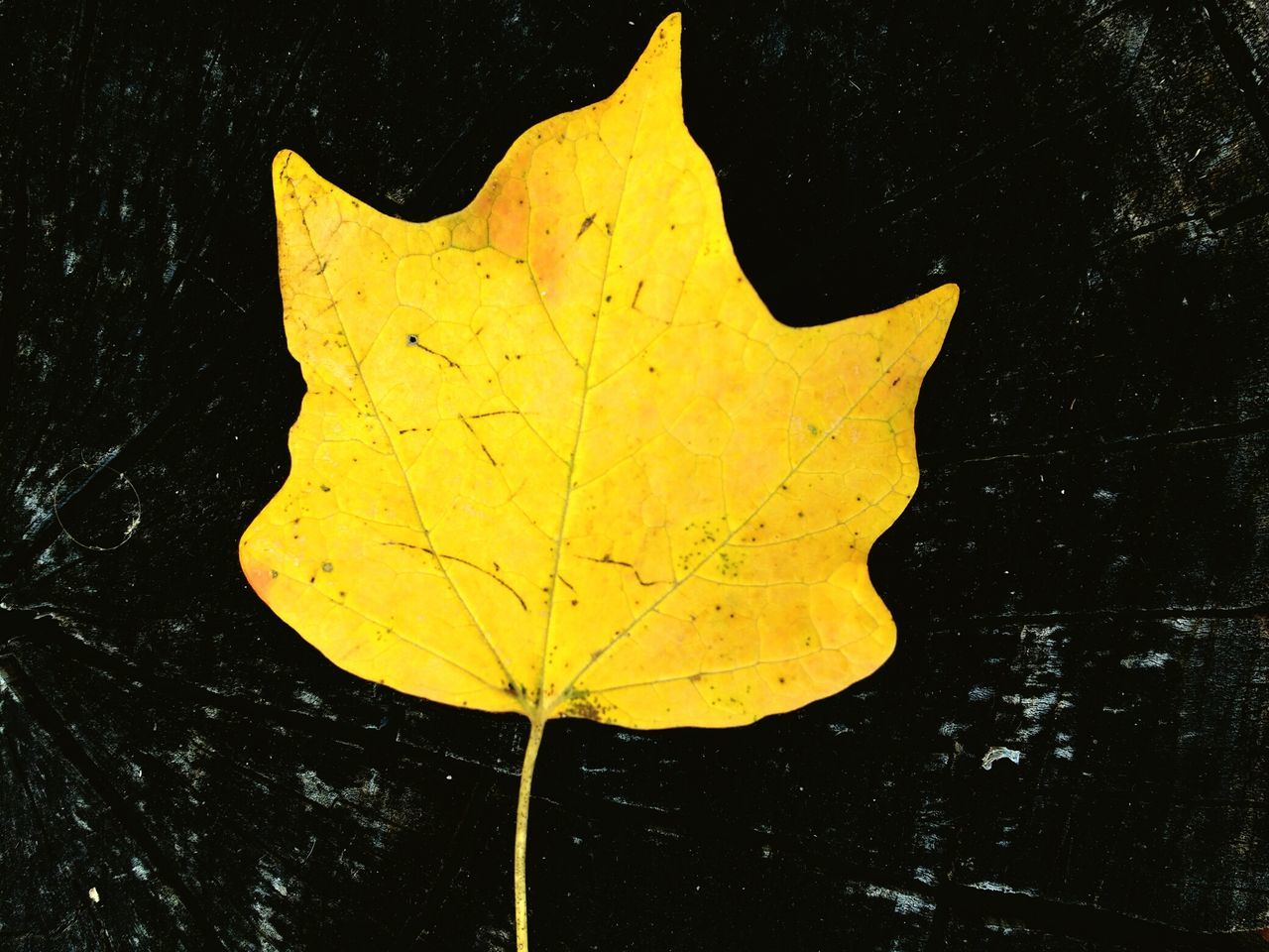 leaf, autumn, yellow, change, water, maple, dry, close-up, outdoors, nature, no people, floating on water, day, maple leaf, beauty in nature, wet, waterfront, fragility, lily pad