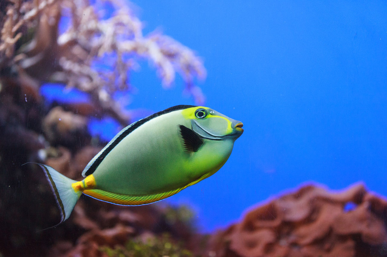 Beautiful stock photos of einhorn,  Close-Up,  Fish,  Horizontal Image,  Naso Tang Fish