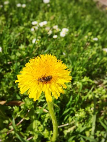 Flower Yellow Fragility Beauty In Nature Nature Flower Head Growth Freshness Plant Blooming Springtime Pollen Outdoors Blossom One Animal Animal Themes Insect No People