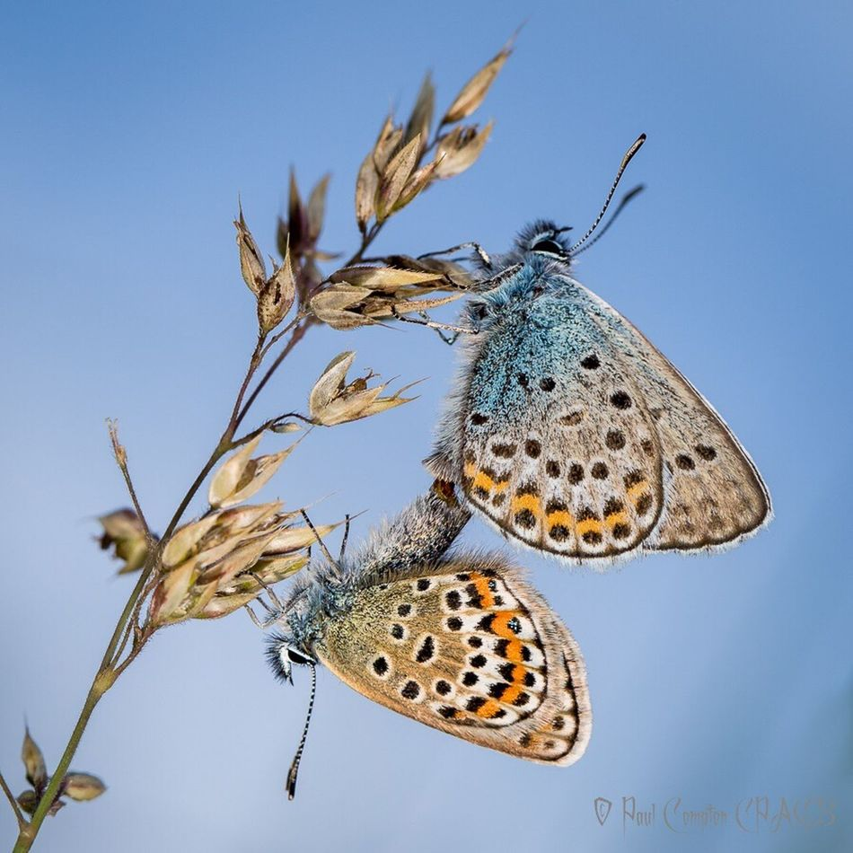 One Animal Animal Themes Animals In The Wild Wildlife Insect Close-up Butterflies Butterfly Collection Low Angle View Butterfly - Insect Butterfly Focus On Foreground Animal Wing Zoology Nature Blue Perching Day Beauty In Nature Animal Markings Fragility Common Blue Butterfly Common Blue