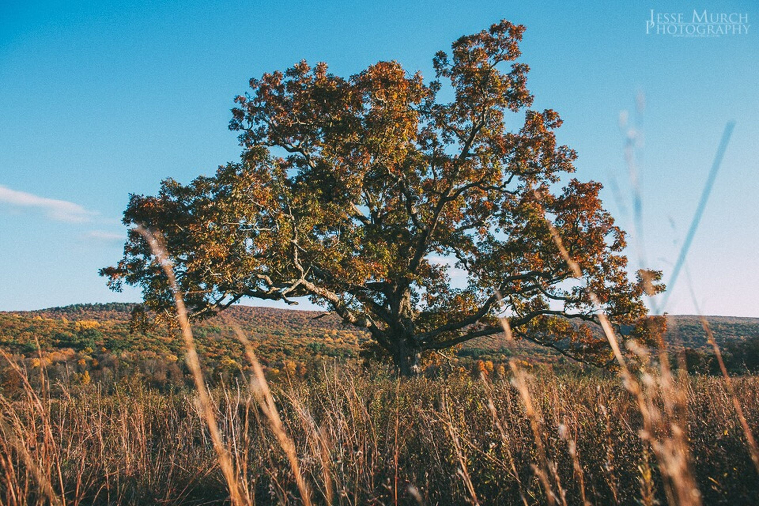 growth, tree, field, tranquility, nature, clear sky, sky, tranquil scene, landscape, plant, beauty in nature, blue, rural scene, scenics, growing, low angle view, grass, agriculture, dry, day