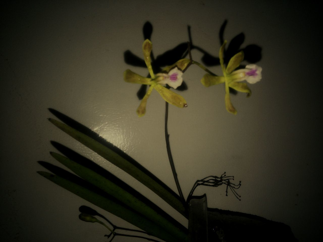 Flower Plant No People Fragility Indoors  Nature Close-up Orchids Photography Themes Chase Just Being Me My Artwork Expressionism Artphotography Artistic Expression Florida Nature Shadows And Light