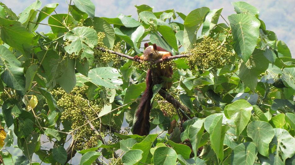 Shekharu Animal Photography My Photography Wildlife Photography Gaint Squarel