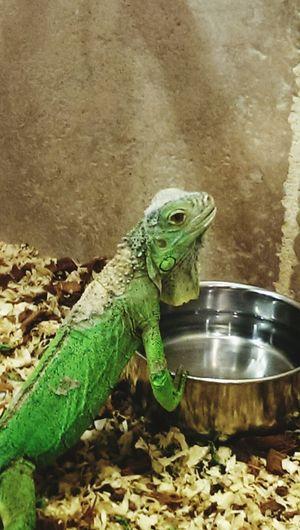 Take Me With You... Beautiful Creature Lizard Watching