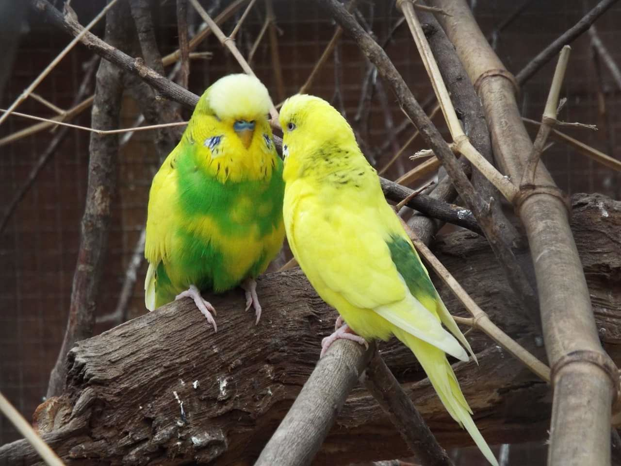 bird, animal themes, perching, parrot, animals in the wild, animal wildlife, branch, yellow, no people, day, nature, outdoors, close-up
