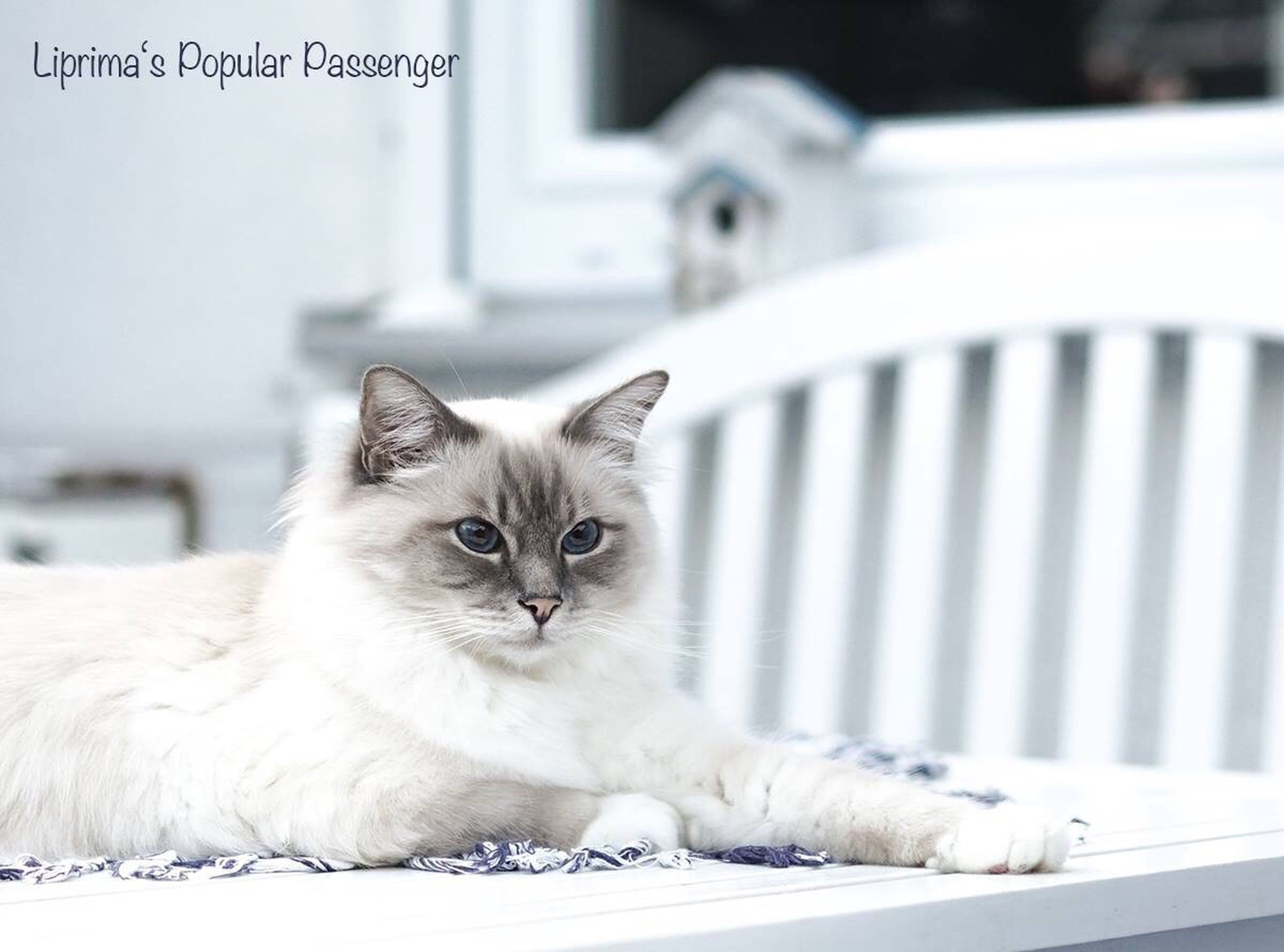 pets, domestic animals, animal themes, domestic cat, close-up, one animal, white color, focus on foreground, animal head, mammal, cat, alertness, front view, feline, looking at camera, whisker, zoology, animal eye, no people, animal hair