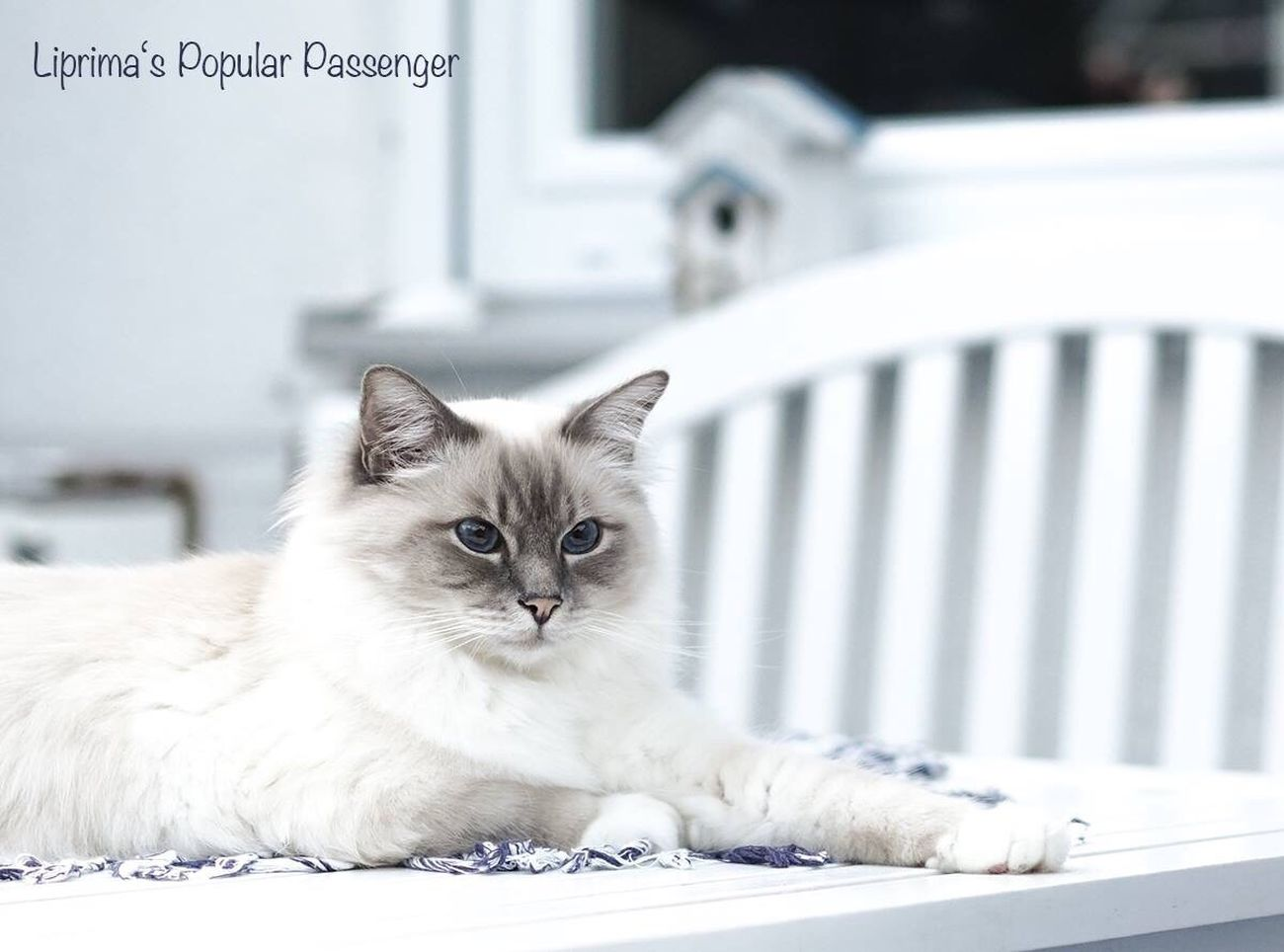 Domestic Animals Pets Animal Themes Domestic Cat One Animal White Color Close-up Focus On Foreground Cat Mammal Front View Animal Head  Alertness Feline Whisker Zoology No People Animal Hair Whiskers Animal Birma Birman  Birmanie Birmania Birman Cat