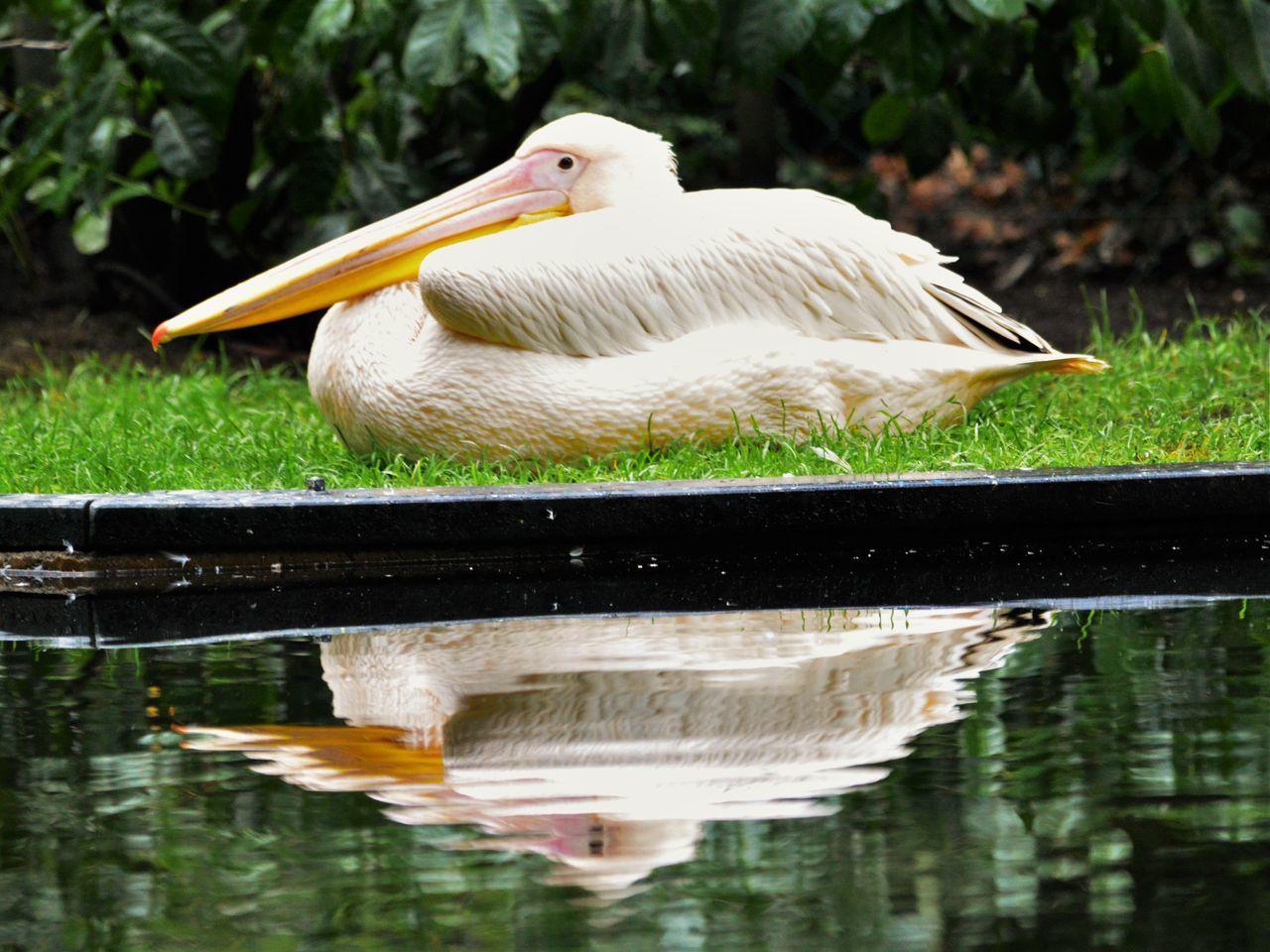 Arnhem Bird Burgerszoo Netherlands Niederlande Pelecanus Pelican Pelicano Pelikane Pinkpelican Vogel Wildlife Zoo ペリカン属 First Eyeem Photo