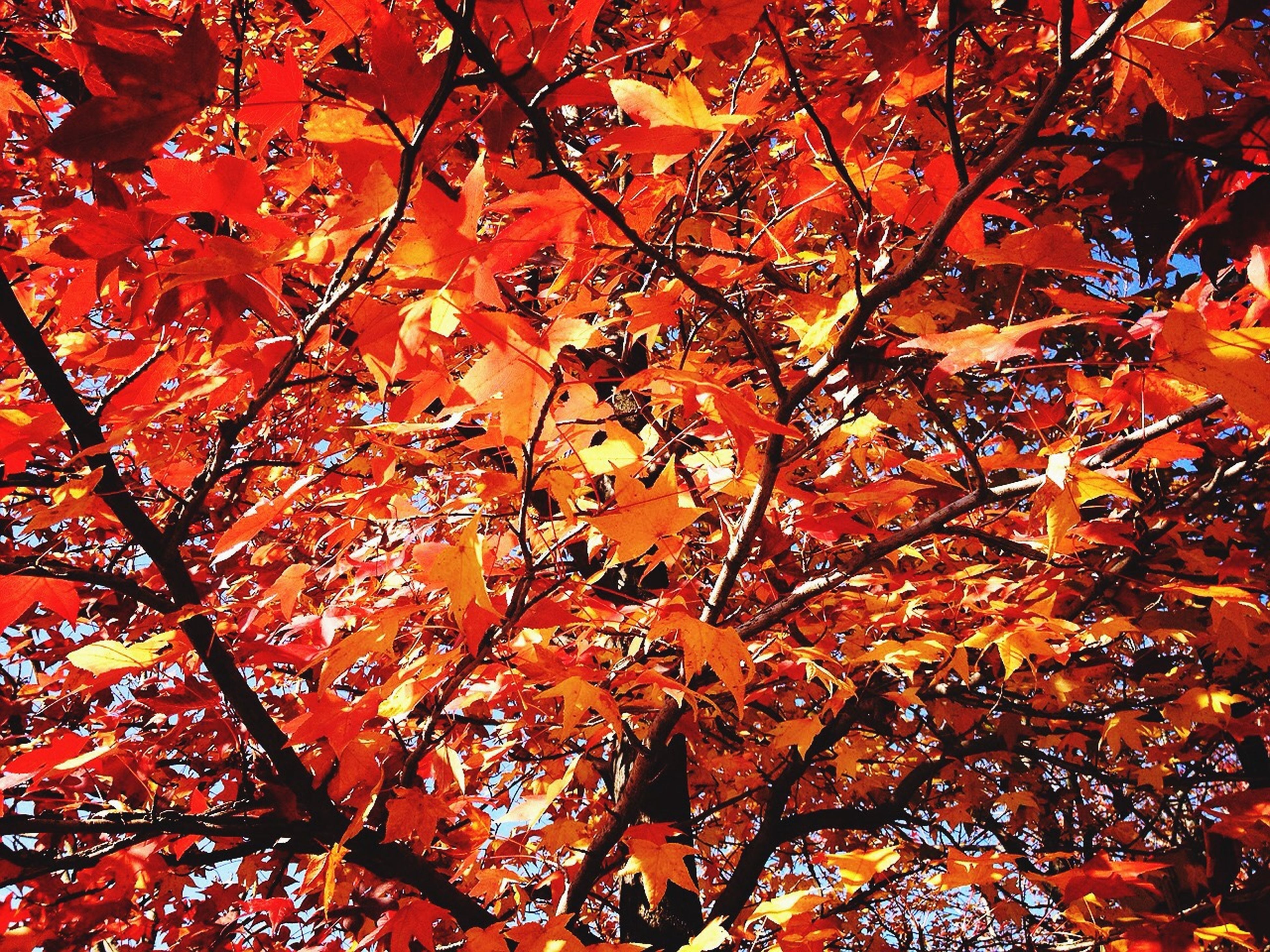 autumn, change, tree, branch, season, low angle view, leaf, orange color, growth, nature, beauty in nature, red, full frame, tranquility, leaves, backgrounds, outdoors, day, no people, maple leaf