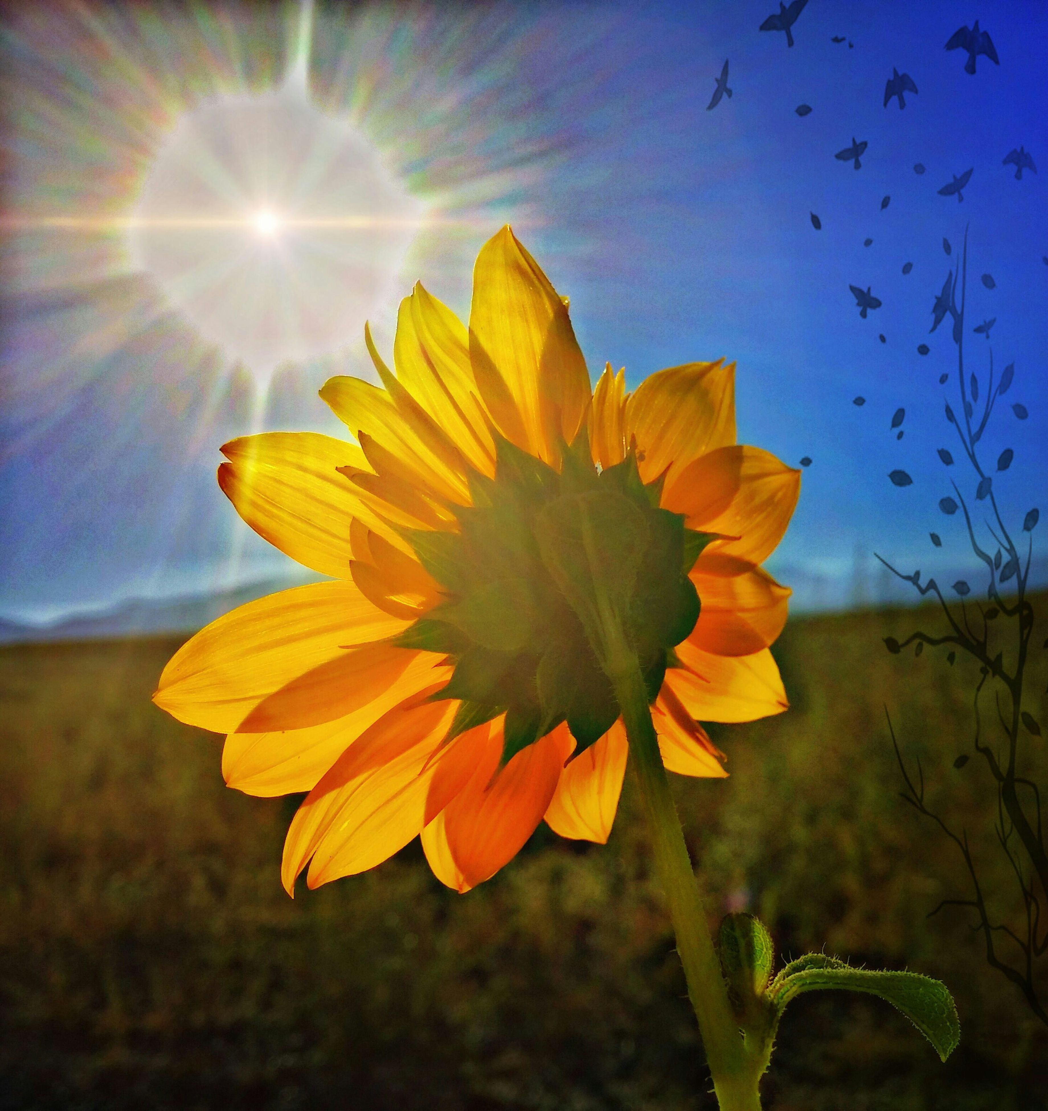 flower, petal, fragility, flower head, beauty in nature, freshness, plant, growth, yellow, nature, field, sunlight, sun, close-up, blooming, blue, focus on foreground, sky, sunflower, sunbeam