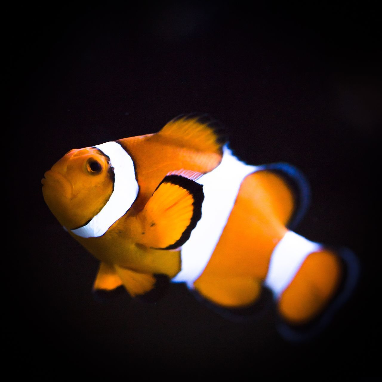 Swimming Orange Color Fish Yellow Animal Themes One Animal Underwater Clown Fish No People Indoors  Nature Aquarium Close-up Sea Life UnderSea Day Wildlife Photography Clownfish Wildlife & Nature Underwaterphotography Underwater Photography Underwater World Scubadiving Scuba Diving SCUBA