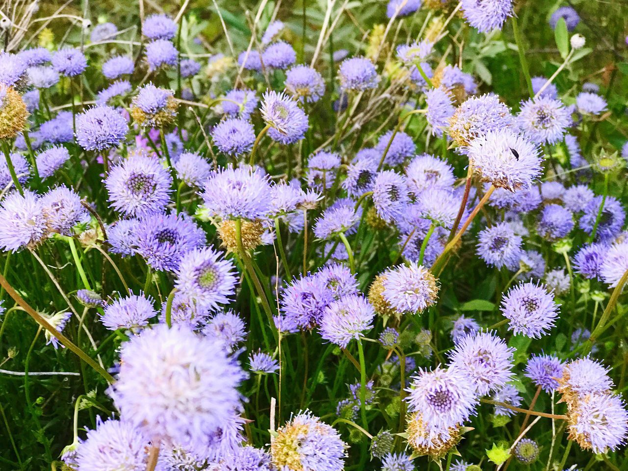 Flower Fragility Purple Nature Beauty In Nature Plant Growth Flower Head No People Petal Day Outdoors Freshness Full Frame Green Color Close-up Blooming Springtime Spring Abundance Of Flowers Wild Flowers Environment Blue Flowers Nature Backgrounds